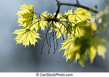 Spring maple leaves - Sunlight falling on a maple leaves in...