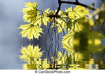 Spring maple leaves - Spring leaves backlit by the rays of...