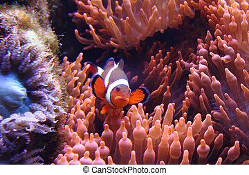clown fish nemo in the red sea with corals