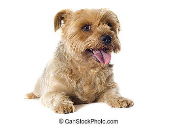 yorkshire terrier sheared - portrait of a purebred sheared...