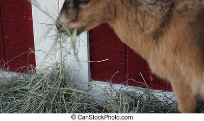 pigmy goat eats - a cute fuzzy pygmy goat eats hay on a farm...