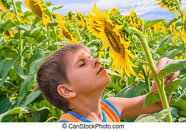 Boy smelling a sunflower - The field of blooming sunflowers....