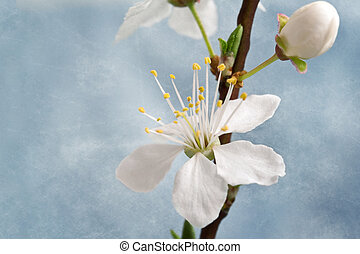 Cherry blossom on grunge background