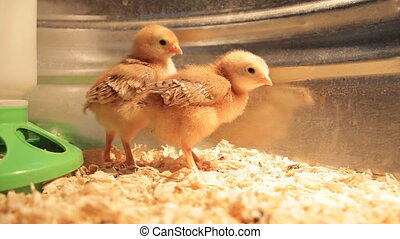 chicks - Two baby chicks explore their new world
