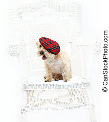 Scottish Tam on Silkypoo - Adorable Silkypoo, silky terrier...