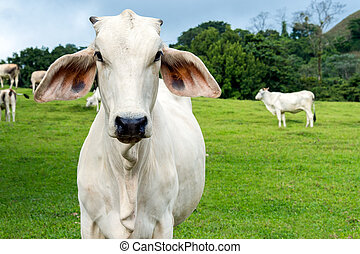 Cow in a farmland - Zebu cow cattle in a farm in the Costa...