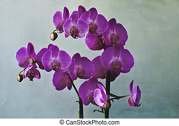 Close-up of purple orchid blossoms - Wonderful branch of a...