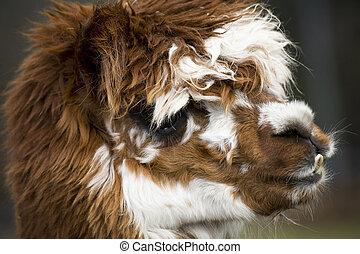 Calico Alpaca llama Face - Brown, White, Calico Alpaca Llama...