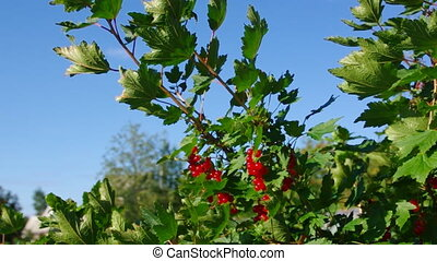 Ripe red currants hanging
