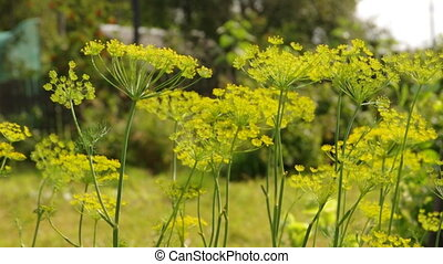 Flower of the dill ,rural economic culture,useful spice