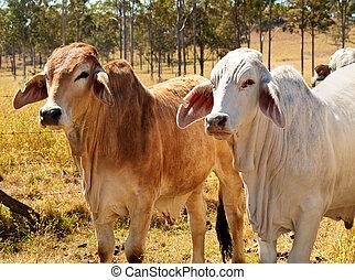 australiano, carne de vaca, ganado, industria, rojo, gris,...