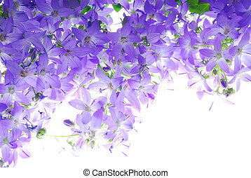 blue campanula - Close-up of blue flower against white...