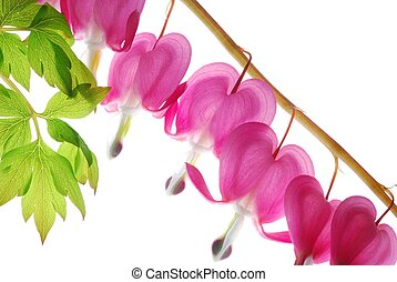 pink dicentra - Flower and leaf from a bleeding heart flower...