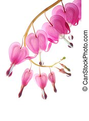 pink dicentra - bleeding heart flower against white...