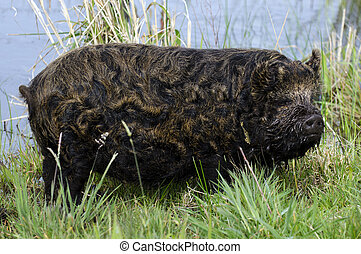 Strange looking pig - A strange looking pig in a swamp in...