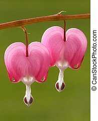 pink dicentra - close-up of a bleeding heart flower against...