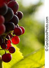 Rred grapes in sunset light Burgundy france