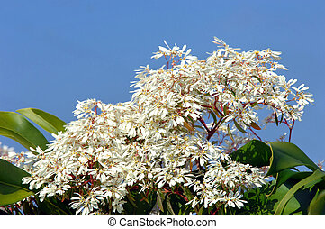 Big Island White Poinsettia - Blooming White Poinsettia bush...