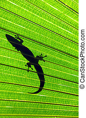 Big Island Gecko - Gecko hides amoung the palm fronds on the...