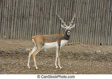 Blackbuck deer (Antilope cervicapra). - Blackbuck deer...