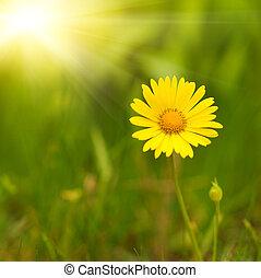 blomma,  över, gul, suddig, grön, bakgrund