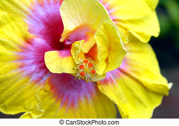 Center of Large Hibiscus - Oversized yellow and pink...