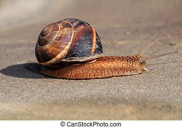 Helix pomatia Burgundy snail - large snail Helix pomatia,...