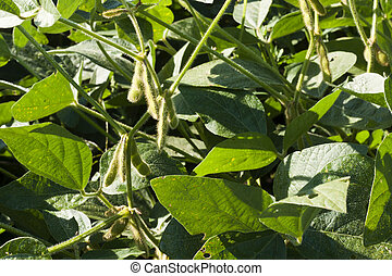 soy beans - immature soy bean pods ripening on the vine