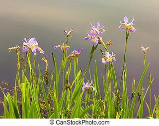 Pastel Wild Iris - A Pastel Wild Iris in full Spring-time...