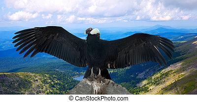 Andean condor in wildness - Andean condor Vultur gryphus in...