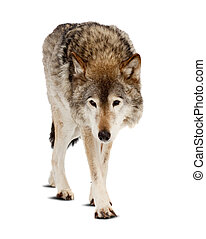 wolf. Isolated over white - wolf (Canis lupus). Isolated...