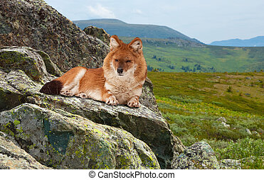Dhole in windness area - Dhole Cuon alpinus on rock in...