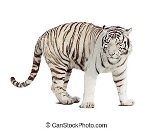 white tiger Isolated over white background with shade