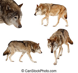 Set of few wolves over white - Set of few wolves Isolated...