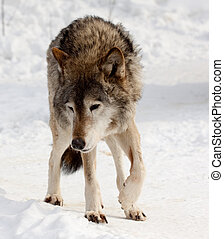 wolf on snow    - wolf on snow  in winter