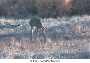 Nice Whitetail Buck - a nice whitetail buck meandering along