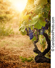 Vineyard in autumn harvest - Nature background with Vineyard...