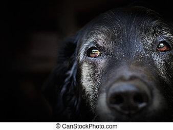 viejo, Labrador, perro cobrador