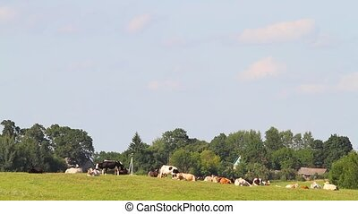 cows resting in a meadow