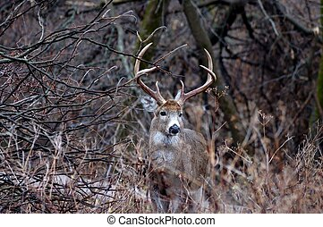 Whitetail Deer Buck standing next to a thicket in the...