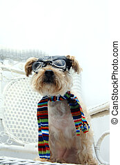 Canine Pilot - Funny Silky Poo wears an old fashioned...
