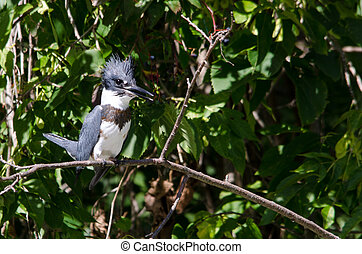 Belted Kingfisher - Ceryle Alcyon_Belted Kingfisher on...