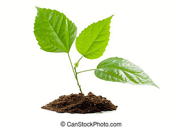 Transplant of a tree isolated on a white background....