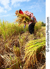 Farmer havesting rice - Farmer harvesting rice field by...