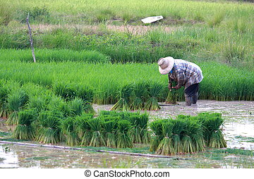 Farmer working on rice field