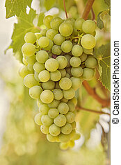 Ripening grape - Ripening green grape on the vine