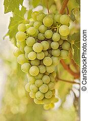 Ripening grape - Ripening green grape  on the vine