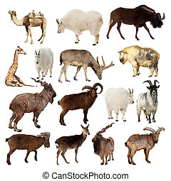Set of Artiodactyla animals Isolated over white background...