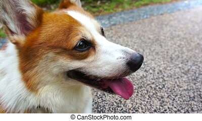 Pembroke Welsh Corgi. - Close up of a Pembroke Welsh Corgi.