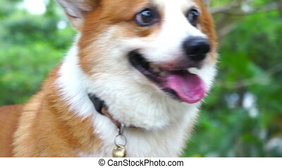 Pembroke Welsh Corgi - Close up portray of a Pembroke Welsh...
